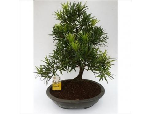 Бонсаи Подокарпус Bonsai Podocarpus Plastic Pot