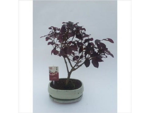Бонсаи Лоропеталум Чайненсис Bonsai Loropetalum Chinensis