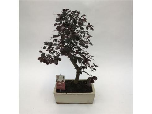 """Бонсаи """"Лоропеталум Чайненсис"""" Bonsai Loropetalum Chinensis"""