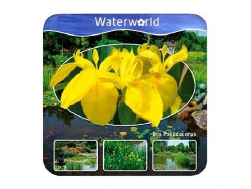 Ирис ложноаировый Iris Pseudacorus - Aqua Set