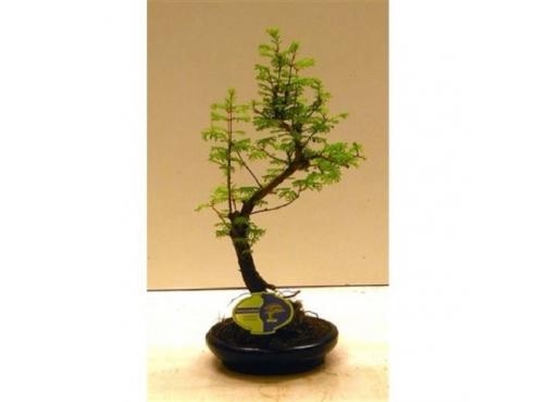 "Бонсаи ""Метасеквойя Шейп"" Bonsai Metasequoia Shape In Round Pot"