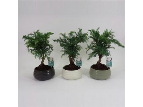"Бонсаи ""Араукария Каннингема"" Bonsai Araucaria Cunninghamii In Spiral Pot"