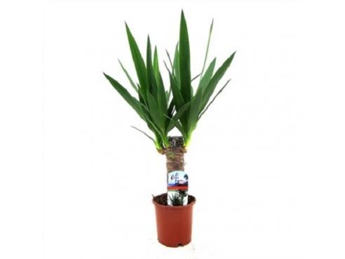 Юкка Yucca 20cm Stem 2+