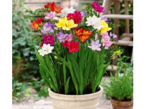 Фрезия садовая