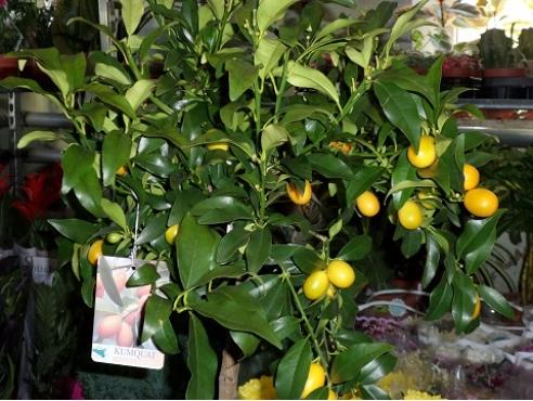 "Цитрус ""Кумкват"" Citrus Kumquat On Stem"