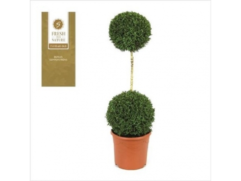 "Буксус ""Дуо-Бол"" Buxus Duo-bol On Stem"