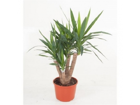 Юкка бранч Yucca Branched