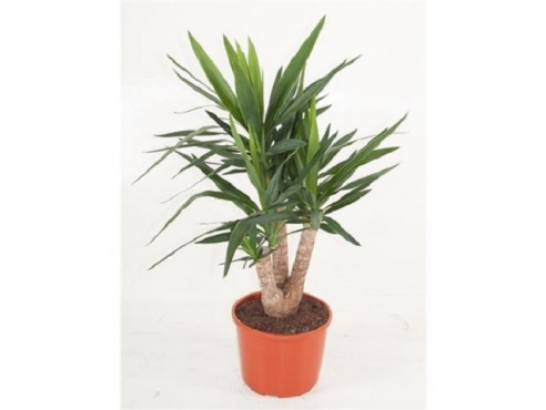 Юкка бранч Yucca Branched 3/4 Arms