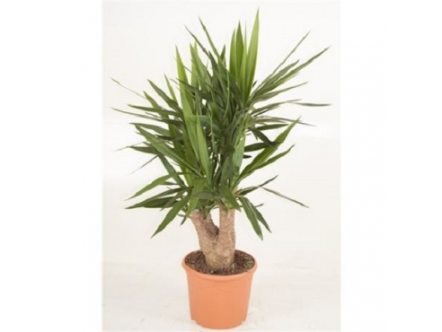 Юкка бранч Yucca Branched 4/5 Arms