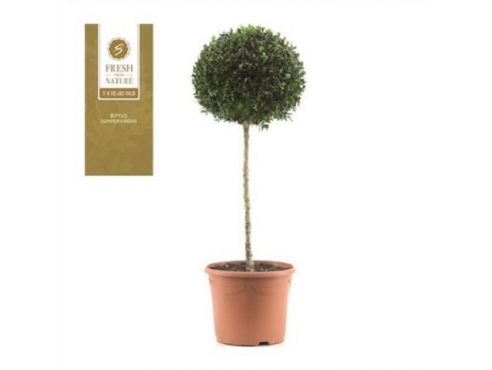 "Буксус ""Моно-бол"" XXL на штамбе Buxus Mono-bol On Stem Xxl"