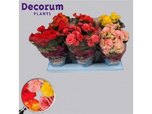 Бегония микс Begonia Mix (decorum)
