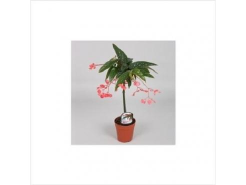 Бегония альба-пикта Begonia Albo-picta Rosea