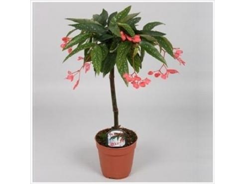 Бегония альба-пикта на штамбе Begonia Albo Picta Rosea On Stem