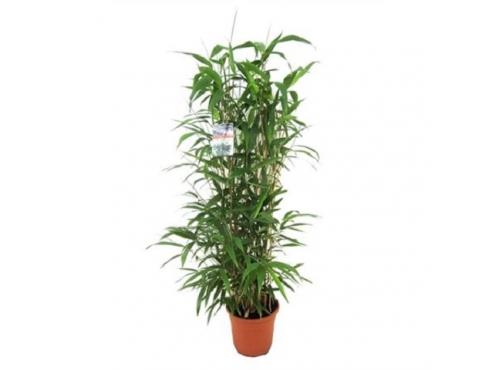 Бамбук Метака Bambusa Metake