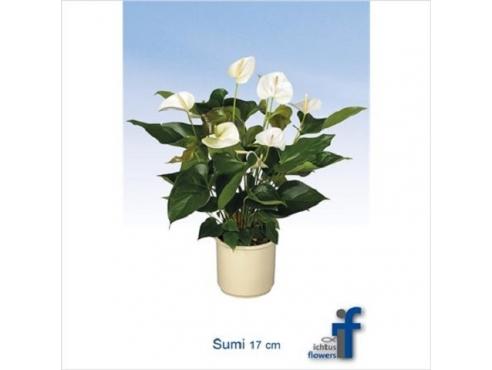 Антуриум Суми 5+ Anth An Sumi 5+