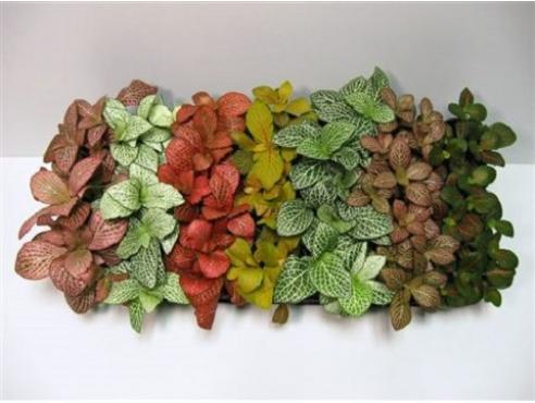 Фиттония Fittonia Mix