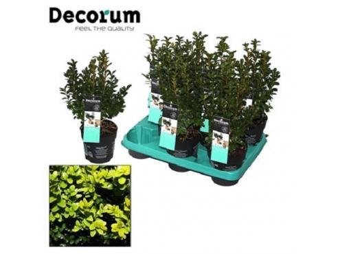 Буксус Buxus (decorum)