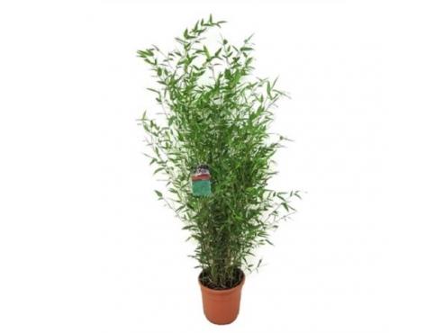 Бамбук Биссета Bambusa Bissetii