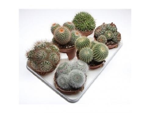"""Кактус """"Шар"""" Cactus Mix Bol"""
