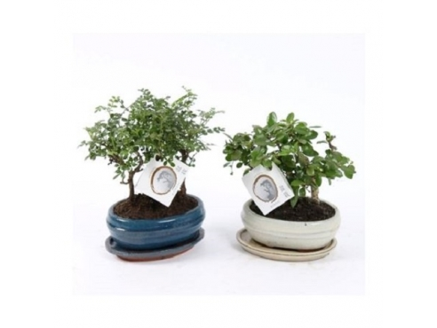 """Бонсаи """"Лес"""" микс Bonsai Forest Mix In Ceramic+sauc"""