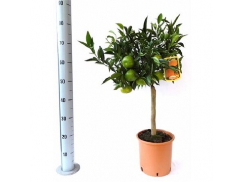 "Цитрус ""Мандарин"" Citrus Mandarine On Stem Green Fruits"