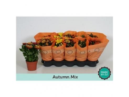 "Хризантема ""Аутумн"" Chrys Autumn Mix"