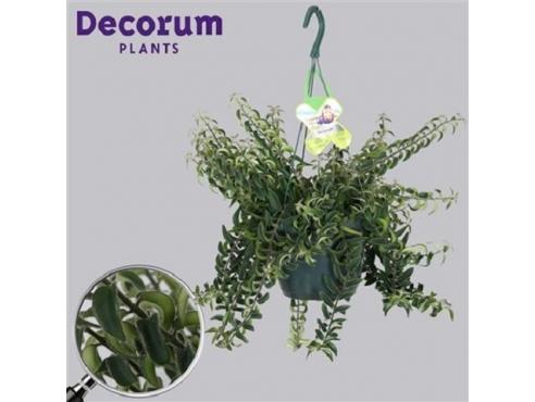 Эсхинантус Румба Aeschynanthus Rumba (decorum)