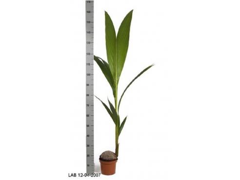 Кокосовая пальма Cocos Nucifera