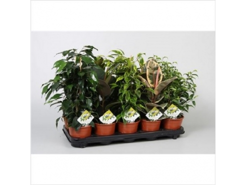 Фикус Микс Ficus Mix Basic