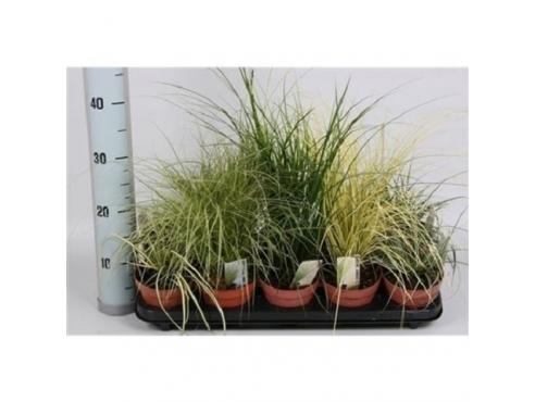 Карекс микс Carex Mix