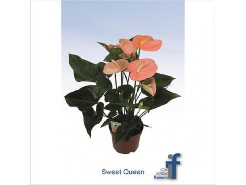 Антуриум Свит Квин 5+ Anth An Sweet Queen 5+