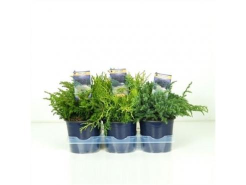 Можжевельник микс Juniperus Mix
