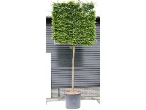 Граб обыкновенный Carpinus Betulus