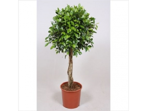 Фикус Нитида Ficus Nitida On Stem (fachjan)