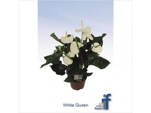 Антуриум Уайт Квин 5+ Anth An White Queen 5+