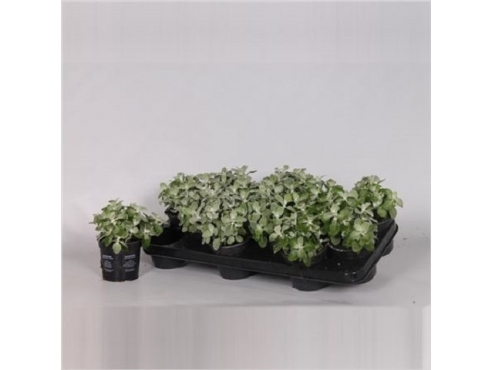 "Гелихризум ""Сильвер"" Helichrysum Silver"