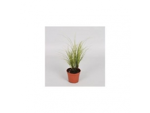 Карекс Брунно вариегатный Carex Brunnea Variegata