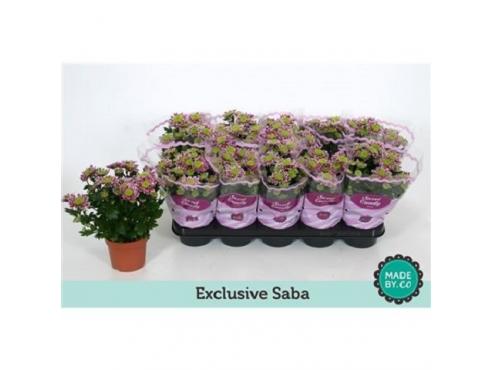 """Хризантема """"Саба"""" Chrys Exclusive Saba"""