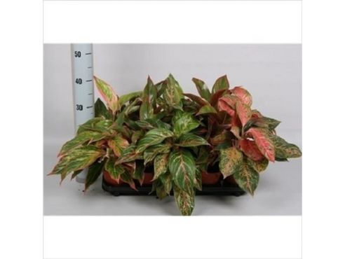 Аглаонема микс Люкс Aglaonema Mix Luxe