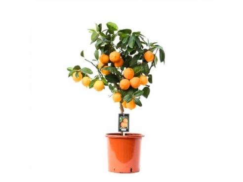 """Цитрус """"Красный лайм"""" Citrus Red Lime On Stem"""