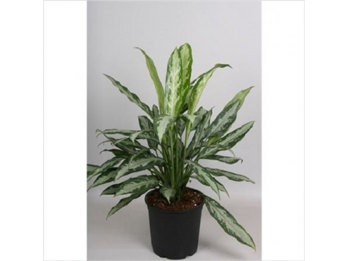 Аглаонема Блэк Лэнс Aglaonema Black Lance