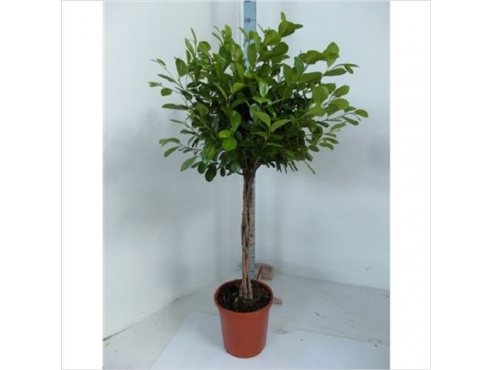 Фикус Мокламе Ficus Moclame Twisted
