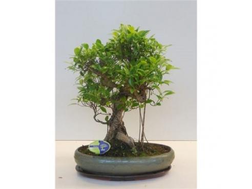 "Бонсаи фикус ""Ретуса"" Bonsai Ficus Retusa"