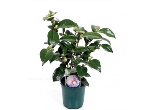 """Камелия японская """"Осу-Отом"""" Camellia Japonica Usu Otome Light Pink"""