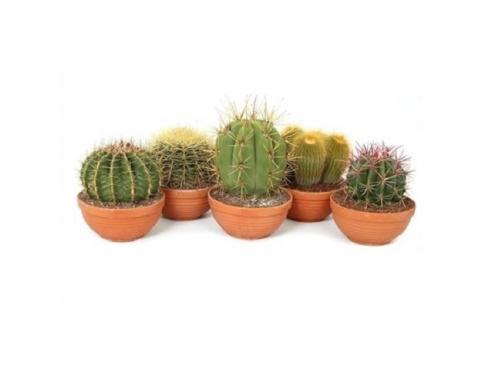 Кактус микс Cactus Mix In Bowl