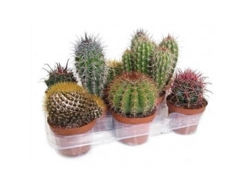 "Кактус ""Канариас"" Cactus Mix Canarias"