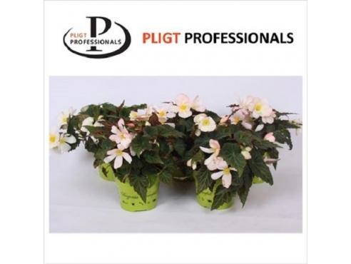 Бегония Инканто Перл Begonia Encanto Pearl