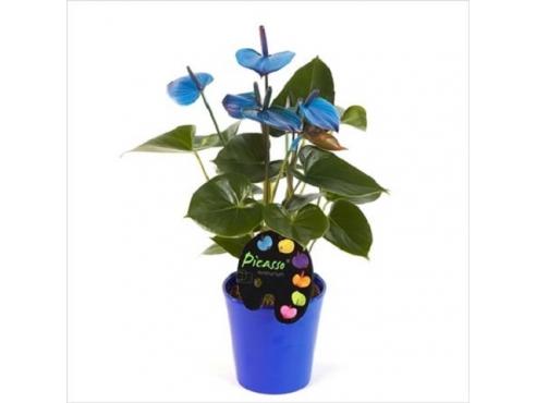 Антуриум Пикассо Блю 5+ в керамике Anth An Picasso Blue In Boston Blue Pot 5+