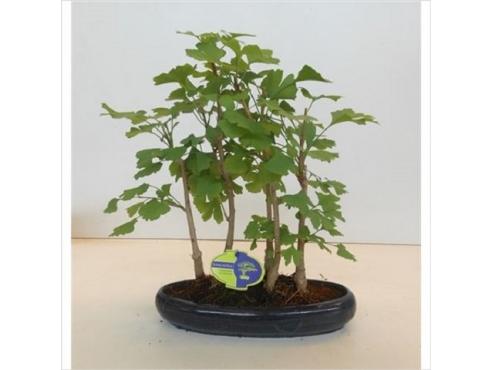 Бонсаи Гинкго Билоба Bonsai Ginkgo Biloba Group-5-trees