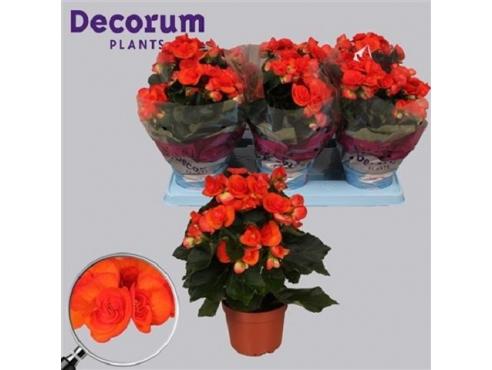 Бегония Рейна Begonia Reina (decorum)
